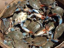 Les crabes bleus clôturent up4 Photo libre de droits
