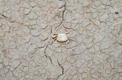 Les crabes meurent en raison de la sécheresse images libres de droits