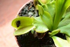 Les crochets de Vénus volent avec une mouche photo libre de droits