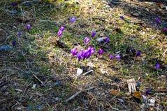 Les crocus, le premier ressort fleurit sur le pré Image libre de droits