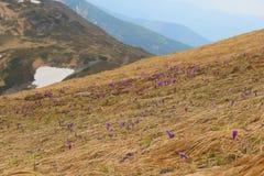 Les crocus pourpres fleurissant avec le fond de la montagne étonnante aménagent en parc Images libres de droits