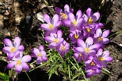 Les crocus tôt fleurissent en mars 2019 photos libres de droits