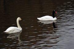 Les cygnes blancs nagent sur un étang photo stock