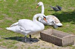 Les cygnes blancs se reposent sur l'herbe et mangent du conducteur Images stock