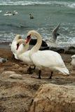 Les cygnes blancs sur des roches s'approchent de l'océan Image libre de droits