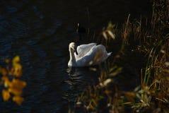 Les cygnes blancs sur le coucher du soleil rayonne le lac de parc Images libres de droits