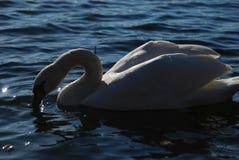 Les cygnes blancs sur le coucher du soleil rayonne le lac de parc Photographie stock libre de droits