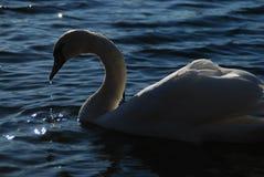 Les cygnes blancs sur le coucher du soleil rayonne le lac de parc Photo libre de droits