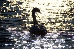 Les cygnes blancs sur le coucher du soleil rayonne le lac de parc Images stock