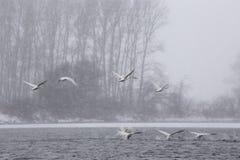 Les cygnes blancs vont sur un vol dans la chute de neige importante Photos stock