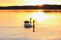 Les cygnes de couples flotte sur le lac au coucher du soleil Image libre de droits