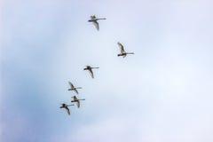 Les cygnes de Whooper volent en ciel au Belarus Minsk Photos libres de droits
