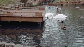 Les cygnes et les canards blancs nagent dans l'étang près de peu de pont Paysage d'automne banque de vidéos