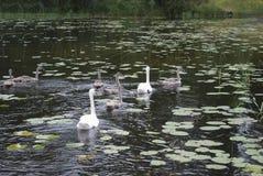 Les cygnes muets blancs appareillent avec le bain gris de jeunes cygnes Images stock