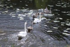 Les cygnes muets blancs appareillent avec le bain gris de jeunes cygnes Image libre de droits