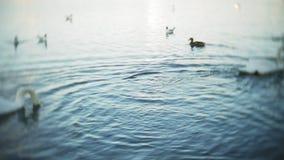 Les cygnes nagent dans l'étang du parc de ville banque de vidéos