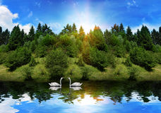 Les cygnes nagent dans le lac près de la forêt en été Photographie stock libre de droits