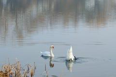 Les cygnes nagent sur le lac en premier ressort photographie stock libre de droits