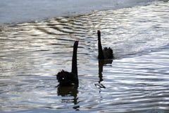 Les cygnes noirs nagent sur un étang images libres de droits