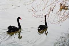 Les cygnes noirs nagent sur un étang image stock