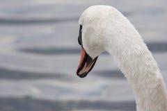 Les cygnes regarde fixement le lac Photos stock