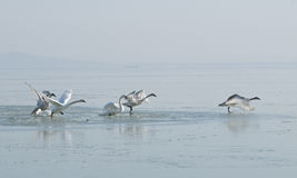 Les cygnes volent au-dessus du lac photographie stock
