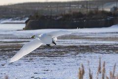 Les cygnes volent dans la neige Photographie stock libre de droits