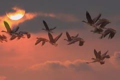 Les cygnoides d'Anser volent au lever de soleil Photo stock
