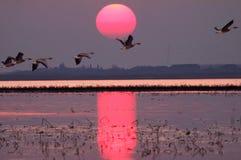 Les cygnoides d'Anser volent au lever de soleil photos stock