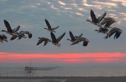 Les cygnoides d'Anser volent au lever de soleil Photo libre de droits
