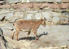 Les cylindricornis de Capra de Dagestan Vostochnobeisky Tur sont au zoo Photos libres de droits