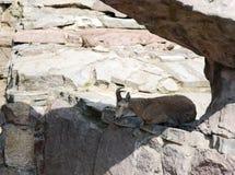 Les cylindricornis de Capra de Dagestan Vostochnobeisky Tur sont au zoo Photographie stock