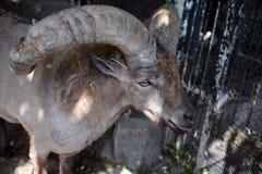 Les cylindricornis de Capra de Dagestan Vostochnobeisky Tur sont au zoo Photos stock