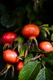 Les cynorrhodons mûrissant sur le rosier ont éclairé par le soleil d'automne photographie stock libre de droits