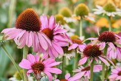 Les détails de ont monté les fleurs de flétrissement dans le jardin avec le foyer mou de fond Image libre de droits