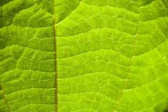 Les détails du ` s de feuille raye et des veines en soleil d'été images libres de droits
