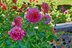 Les dahlias roses ont fleuri au parc d'état d'acres de rivage en Orégon photos stock