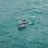 Les dauphins de Hector Photos libres de droits