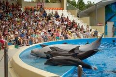 Les dauphins montrent dans le dolphinarium d'Anapa, les dauphins et une participation de mer-canari photo stock