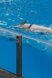 Les dauphins nageant en fonction desserrent dans le regroupement Image stock