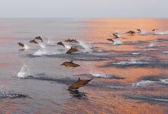 Les dauphins poursuivent un troupeau des poissons au coucher du soleil Images libres de droits