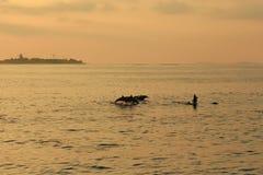 Les dauphins poursuivent un troupeau des poissons au coucher du soleil Image libre de droits
