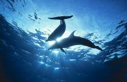Les dauphins s'approchent de la surface images libres de droits