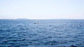 Les dauphins s'approchent des îles de canaux, la Californie Image libre de droits