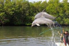 Les dauphins sautant dans l'exposition d'aquarium de Varadero Image libre de droits