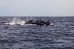 Les dauphins sautant dans l'océan de mer Images stock