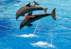 les dauphins sautant l'eau Photos stock