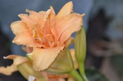Les daylilies hybrides doublent la couleur crème crémeuse luxueuse de doubles fleurs rêveuses photos libres de droits