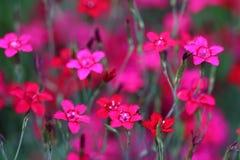 Les deltoides d'oeillet de premier rose ou le stonecar est une formation éternelle à feuilles persistantes Image libre de droits