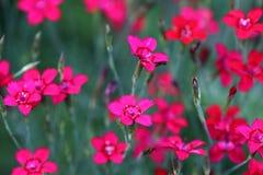 Les deltoides d'oeillet, le premier rose ou le stonecar est une belle couverture végétale Photographie stock libre de droits